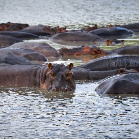 The watchful eye. Hippos, Tanzania.